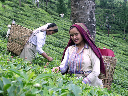 Tea pluckings being done by women tea laborers at a Darjeeling Tea estate - Puttabong Tea Estate ? Image by Benoy